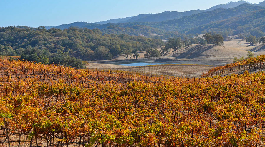 Autumn Vineyard Colors And Harvest Season In Paso Robles